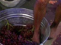 Suki ugniatają owoce swoimi stopami